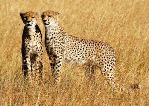 Cheetah-Masai Mara Game Reserve