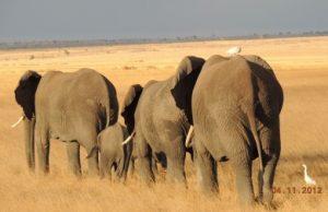 elephants-with-birds