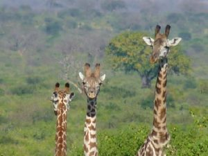 giraffes-tsavo-west