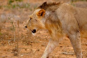 king-of-the-tsavo-national