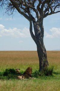 lion-coastcamping-safaris