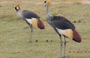 peacock-amboseli-kenya-national-park