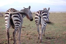 tsavo_east_zebra