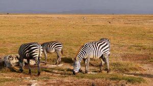 zebra-coastcamping
